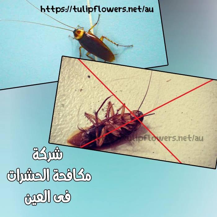 شركة مكافحة حشرات في العين